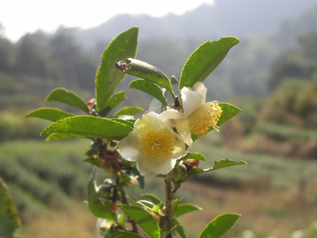 цветок дахунпао